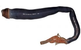 Ученые впервые исследовали гигантского корабельного червя