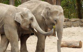Слоны чувствуют себя в собственном теле