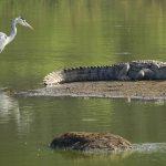 Предком динозавров был «крокозавр»