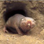 Голые землекопы выдерживают без кислорода восемнадцать минут