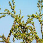 Способность различать звуки человеческой речи у попугаев оказалась врожденной
