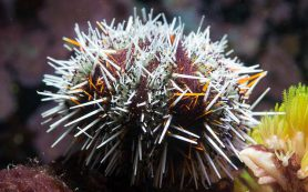Морские ежи стреляют ядовитыми клешнями