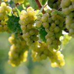 Российские ученые разработали способ сделать виноград полезнее