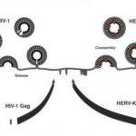 Древний ретровирус в нашем геноме помогает бороться с ВИЧ