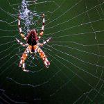 Как пауки обходятся без клея на паутине