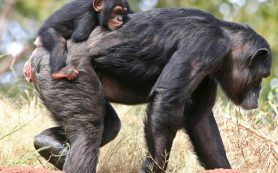 Шимпанзе оказались способны идти на жертвы ради другого