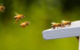 Асоциальные пчелы похожи на аутистов