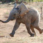 Почему слоны плохо бегают