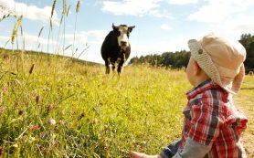 Коровы и кошки защищают детей от астмы