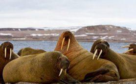 Совместная экспедиция России и США изучила моржей в Чукотском море