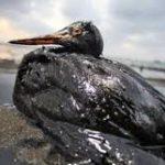 Птицы и нефть