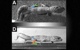 Хвост геккона оказался способом увеличения подвижности суставов
