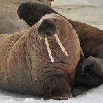 Численность моржей на Земле Франца-Иосифа приблизилась к предпромысловой