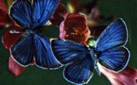 Бабочки помогают российским ученым раскрыть тайну появления новых хромосом и связанных с ними болезней