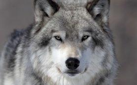 Волки установили причинно-следственные связи лучше собак