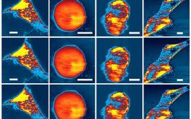 Атомно-силовой микроскоп приспособили для наблюдений за живыми клетками