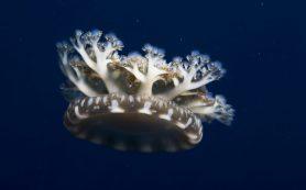 Безмозглые медузы умеют спать