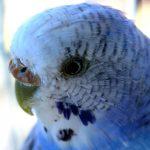 Биологи объяснили разноцветность волнистых попугайчиков