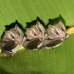 Летучие мыши заставляют свое сердце отдыхать