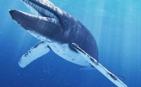 Почему синие киты такие большие
