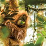 На Суматре открыли новый вид орангутана