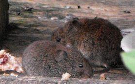 Мыши помогли биологам России и США выяснить, как алкоголь разрушает семьи