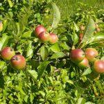 Как возникли современные яблоки