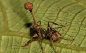 Грибки буквально двигают руками-ногами муравья