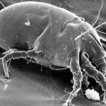 Клещи домашней пыли выработали новый способ защиты своего генома