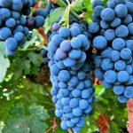 В винограде нашли средство от депрессии