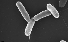 Единственная мутация сделала африканскую сальмонеллу смертельно опасной