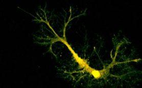 Как иммунитет помогает мозгу развиваться