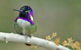 Самцы колибри «поют» серенады с помощью оперения на хвосте