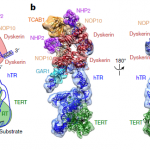 Ученые в деталях разглядели фермент клеточного бессмертия — теломеразу