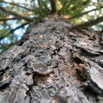 Как достать полезные вещества из древесной коры
