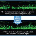 Нейробиологи увидели регенерацию спинного мозга в реальном времени