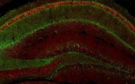 Исследование на мышах показало, какие нейроны «переписывают» травматические воспоминания