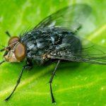 Мясные мухи улучшают антибиотики