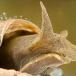Опасных прудовиков посчитали по видам