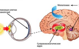 Сколько нейронов управляют суточными ритмами?