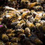 Самый популярный гербицид для борьбы с сорняками может нанести вред пчелам во всем мире