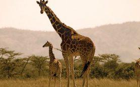 Жирафы наследуют свою пятнистую окраску от матерей