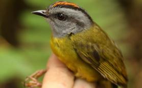 Потепление запустило «эскалатор вымирания» в тропических горах