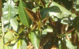 Обнаружен новый вид чайного растения с низким содержанием кофеина