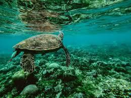 В кишечнике нескольких видов морских черепах нашли микропластик