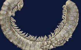 Ученые обнаружили более 450 ископаемых многоножек, застывших в янтаре возрастом 100 миллионов лет