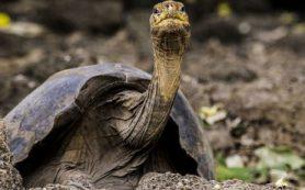 Анализ генома объяснил, почему гигантские черепахи могут жить до ста лет