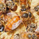 Пчелиный белок сохраняет стволовые клетки стволовыми