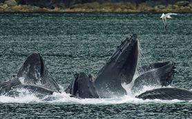 Изменение климата помешает восстановиться южным популяциям усатых китов