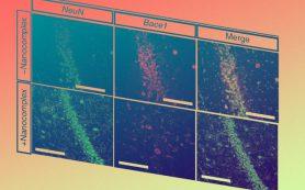 Нанокомплексы с CRISPR облегчили симптомы болезни Альцгеймера у мышей